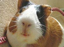 Что такое морская свинка?