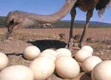 Какая птица откладывает самые большие яйца?