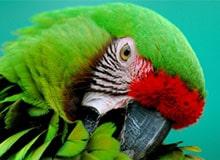 Какая птица лучше разговаривает?