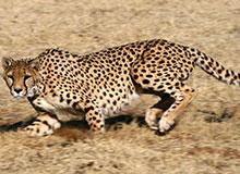 Какое млекопитающее самое быстрое на земле?