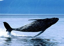 Почему шла охота на китов?