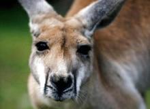 Почему кенгуру встречаются только в Австралии?