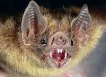 Есть ли зубы у летучей мыши?