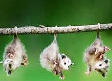 Как хвост помогает животным лазать по деревьям?