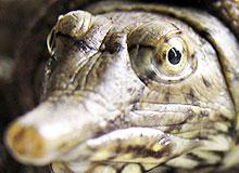 Каких черепах называют мягкотелыми?