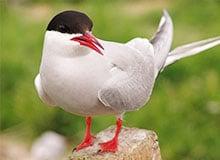 Какая птица улетает дальше всех на зимовку?