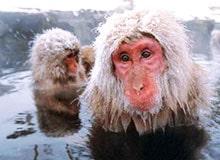 Где живут «снежные обезьяны»?