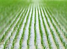 Как выращивают рис?
