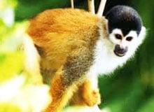 Кто такая обезьяна-белка?