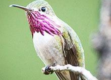 Какая птичка самая маленькая в мире?