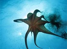 Что делает осьминог при опасности?