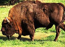 Почему бизонов называют редкими животными?