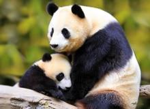 Кто такая гигантская панда?