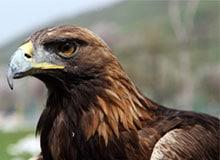 Какой орел самый крупный?