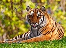 Почему у тигра есть полоски, а у льва нет?