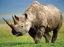 Кому угрожает носорог?