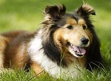 Как собака стала домашним животным?