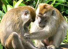 Для чего обезьяны вычесывают друг друга?