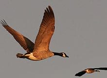 Почему птицы ежегодно улетают на юг?