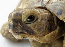 Как черепахи забираются в свои панцири?