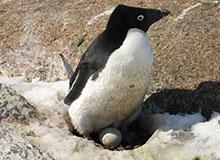 Как пингвины строят гнездо?