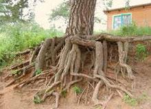 Зачем растениям нужны корни?