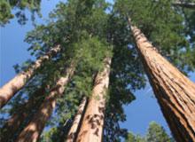 Какого максимального возраста могут достичь деревья?