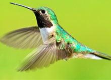 Кто такая птица-муха?