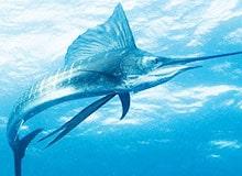 Что собой представляет рыба-меч?