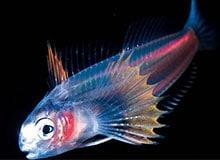 Существуют ли светящиеся рыбы?