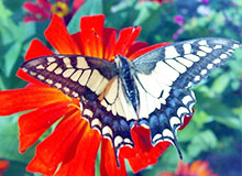 Какая из бабочек имеет хвостики на крылышках?