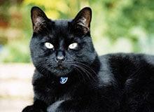 Почему некоторые люди боятся черной кошки?