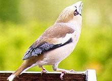 Кто такие птицы-имитаторы?