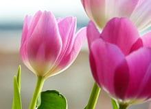 Из чего растет тюльпан?