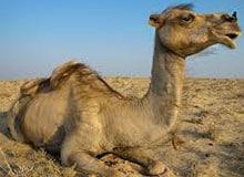 Чем верблюд отличается от других животных?