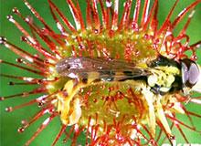 Что такое насекомоядные растения?