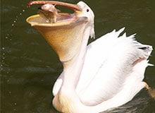 Как пеликан ловит рыбу?