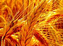 Что такое зерновые растения?