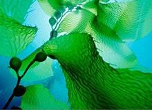 Как растут морские водоросли?