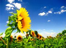 Какое растение называют «спутником солнца»?