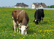 Когда была одомашнена корова?