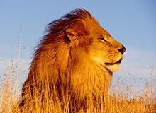 Почему льва называют царем зверей?