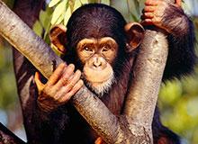 Все ли обезьяны одинаково смышлены?