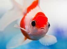 Как дышит рыба?