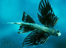 Как рыбы летают?