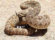 Гремит ли гремучая змея перед тем, как напасть?