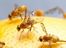 Что такое фруктовая муха?