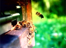 Сколько пчел в улье?