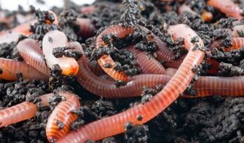 Как ест земляной червяк?