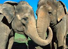 Зачем слону хобот?